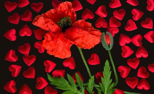 Обои Цветок мака с бутонами среди сердечек на черном фоне