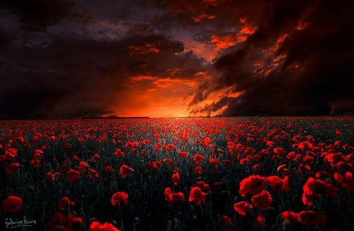 Обои Поле красных маков на фоне огненного неба, фотограф Fabrice Kurz