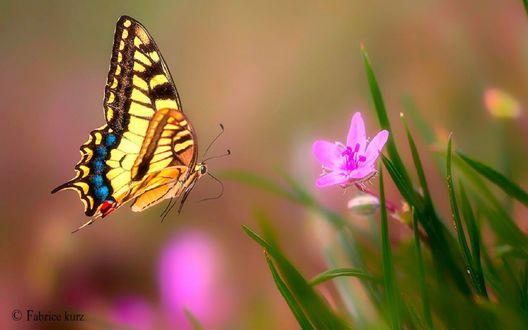 Обои Бабочка у цветка, фотограф Fabrice Kurz