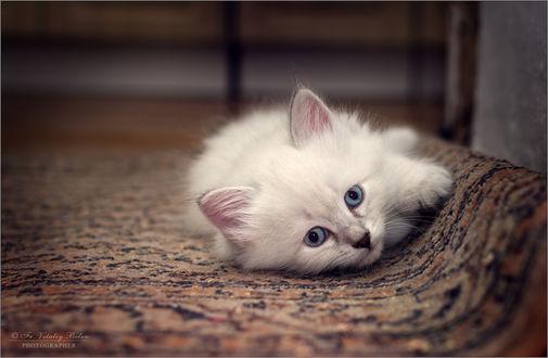 Обои Белый котенок лежит на ковре, фотограф Optina