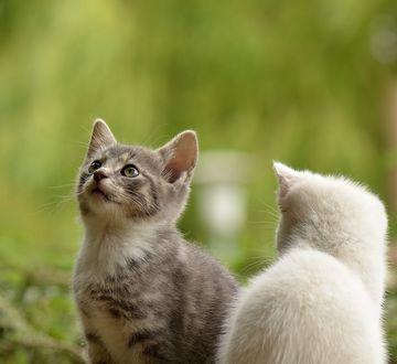 Обои Любопытный котенок за чем-то наблюдает, by Susannp4