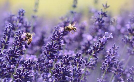 Обои Пчелы сидящие на цветках лаванды на размытом фоне