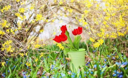 Обои Букет красных тюльпанов в зеленом ведерке стоит на фоне зарослей цветущей желтой жимолости и голубых незабудок