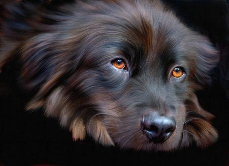 Обои Морда красивой черной собаки с янтарными глазами, на темном фоне, фотопортрет