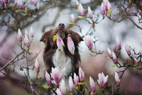Обои Пес держит в пасти цветок, фотограф Iza Lysoń