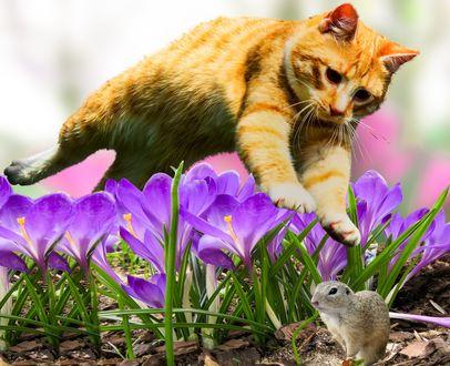 Обои Молодой рыжий кот в прыжке над крокусами охотится на грызуна