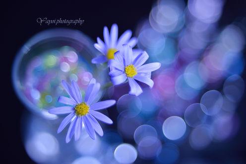 Обои Голубые цветы на фоне бликов, фотограф Yayoi Sakurai