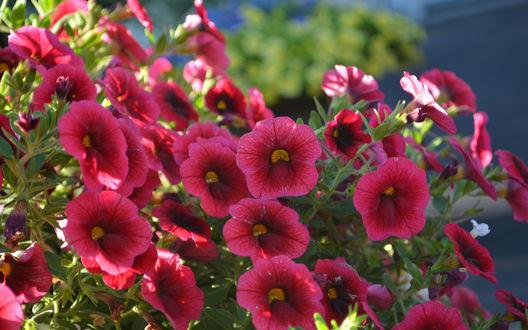 Обои Бордово-розовые садовые цветы калибрахоа, освещенные солнцем