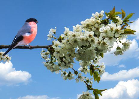 Обои Снегирь, сидящий на цветущей ветви яблони, на фоне неба и облаков, весна