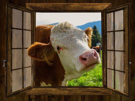 Обои Открытое окно в которое заглядывает корова