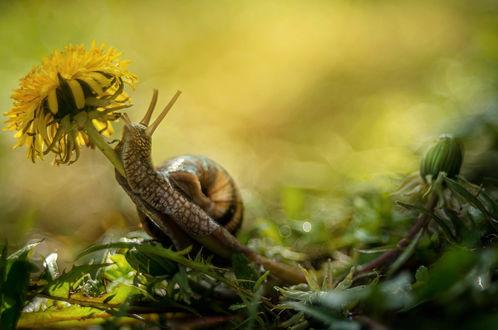 Обои Улитка ползет по стеблю одуванчика, фотограф Лилия Немыкина