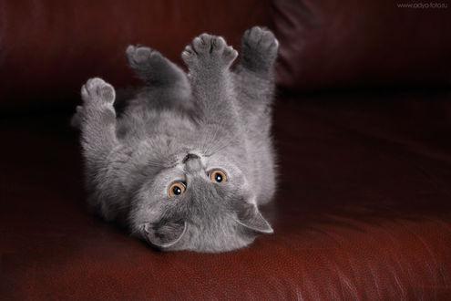 Обои Котенок лежит лапами вверх на кожаном диване, фотограф Надежда Иванова