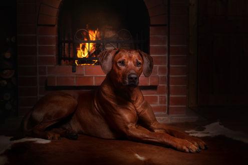 Обои Коричнеая собака у камина, фотограф Надежда Иванова