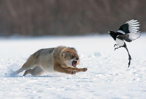 Обои Волк охотится на птицу, фотограф Сергей Златков