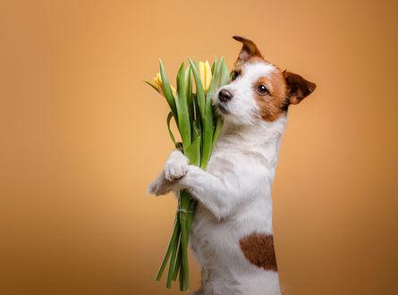 Обои Щенок Джек-рассел-терьера держит в лапах букет желтых тюльпанов, фотограф Анна Аверьянова