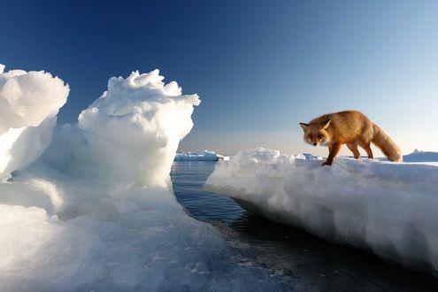 Обои Рыжая лисица стоит на льдине и смотрит на нас. Фотограф Александр Санин