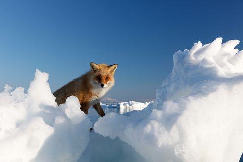 Обои Рыжая лиса стоит на льдине на фоне безоблачного голубого неба. Фотограф Александр Санин