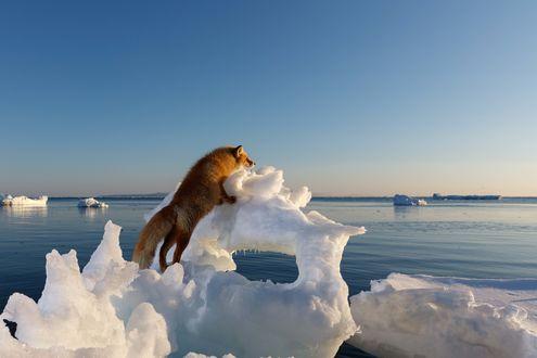 Обои Рыжая лиса стоит на задних лапах, оперевшись передними об льдину и смотрит вдаль. Фотограф Александр Санин