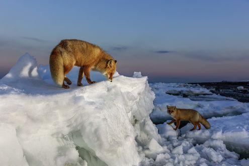 Обои Две лисицы на льдинах. Фотограф Александр Санин