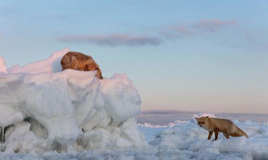 Обои Притаившаяся лиса на льдине смотрит на лису стоящую внизу. Фотограф Александр Санин
