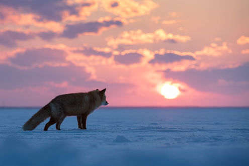 Обои Лиса на фоне закатного северного солнца. Фотограф Александр Санин