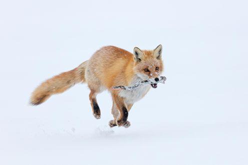 Обои Рыжая лиса в пасти с веткой бежит по снегу. Фотограф Александр Санин