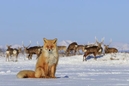 Обои Лиса, зажмурившись, греется на солнышке, позади нее пасутся северные олени. Фотограф Александр Санин