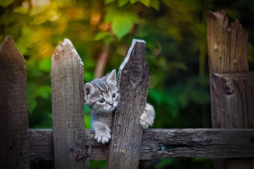 Обои Котенок на заборе, фотограф Коротун Юрий