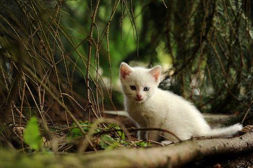 Обои Маленький белый котенок сидит под ветвями хвойного дерева
