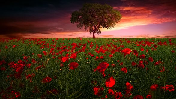 Обои Красные маки и одинокое дерево на горизонте, by geken