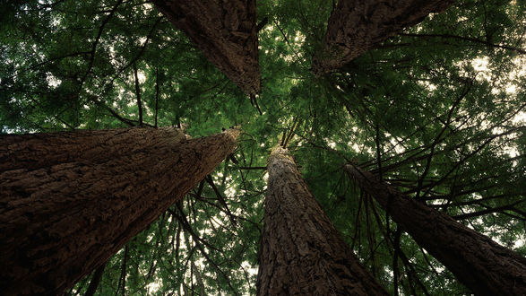 Обои Верхушки деревьев, вид снизу