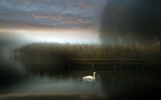 Обои Лебедь на туманной реке возле леса
