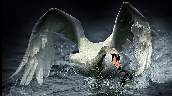 Обои Белый лебедь взлетает с поверхности воды