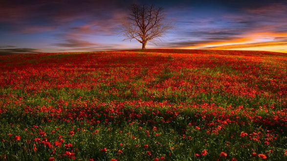 Обои Поле красных маков и одинокое дерево на горизонте, by geken