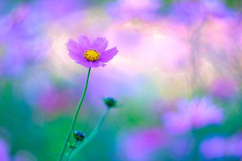 Обои Цветок космеи на размытом фоне, by Hideo N