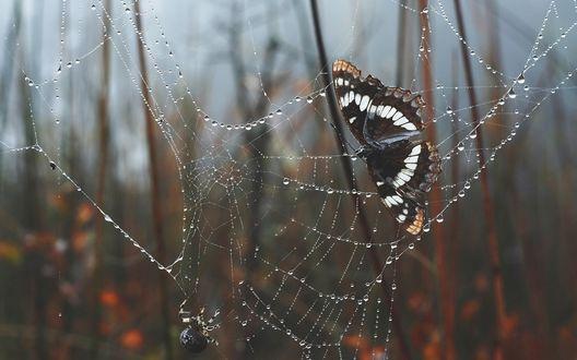 Обои Бабочка в паутине с капельками воды, боке фон