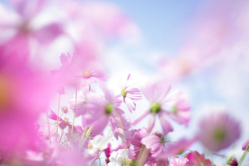 Обои Розовые цветы на размытом фоне