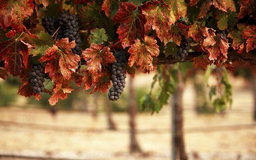 Обои Синие гроздья винограда среди осенних листьев