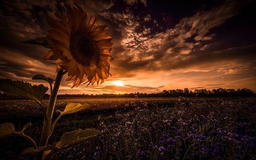 Обои Подсолнух в лучах закатного солнца на фоне темных туч и поля, покрытого голубыми цветами