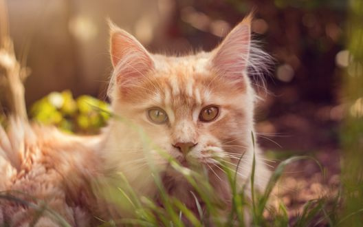 Обои Мордочка рыжего кота, лежащего в траве