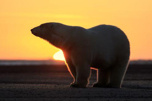 Обои Белый медведь на фоне солнца