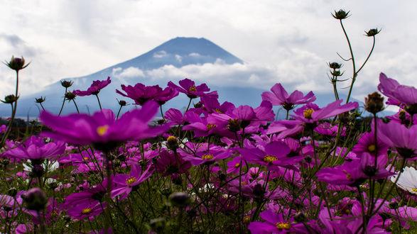 Обои Цветы космеи перед горами
