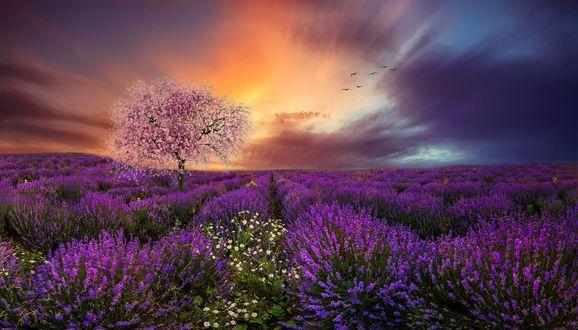 Обои Цветущее дерево на лавандовом поле, фотограф Margaret Morga