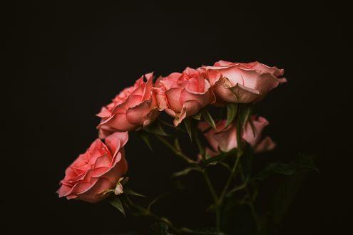 Обои Розовые розы на черном фоне
