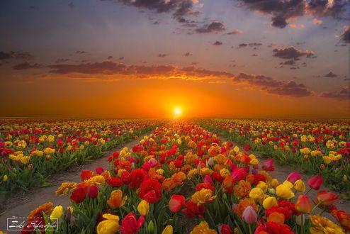 Обои Поля тюльпанов на закате, фотограф Zeki Seferoglu