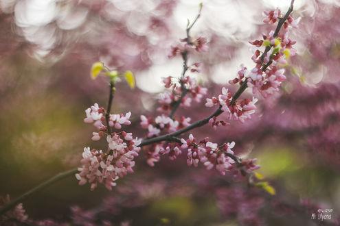Обои Веточка цветущего церциса, фотограф Ульяна Мизинова