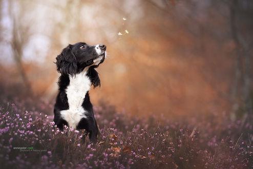 Обои Собака сидит в траве с цветами и смотрит на летающие пушинки, by Anne Geier