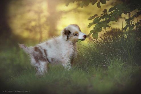 Обои Милый пятнистый щенок стоит в траве дежа в зубах ветку дерева, by Anne Geier