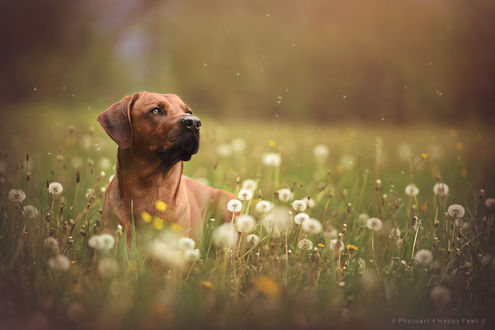 Обои Рыжая собака сидит в траве с одуванчиками, by Anne Geier