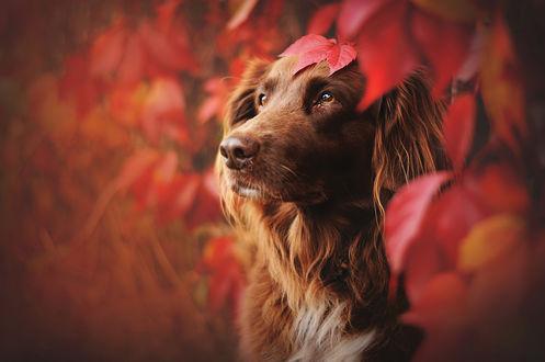 Обои Рыжий пес сидит под веткой с осенними листьями, by Anne Geier